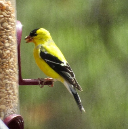 American Goldfinch savoring the seed.