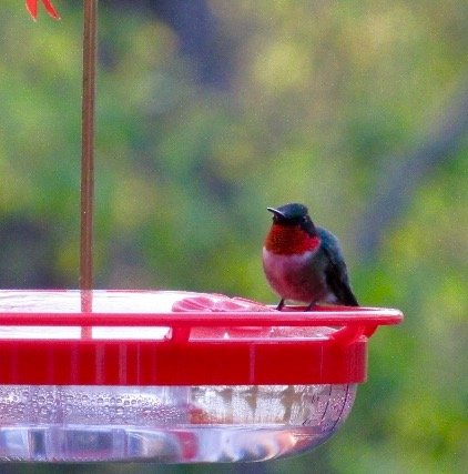 Couldn't resist one more: hummingbird at feeder. Got your feeder out yet?