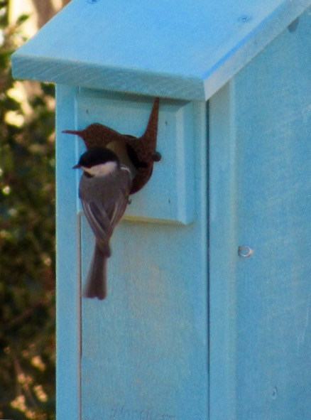 Chickadees taking advantage of a blue bird box for their nest.
