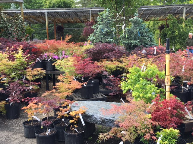 A corner of Japanese maples at the store. Who can walk past all that color and not figure out someplace to put one of these? Impulse hill, here we come.