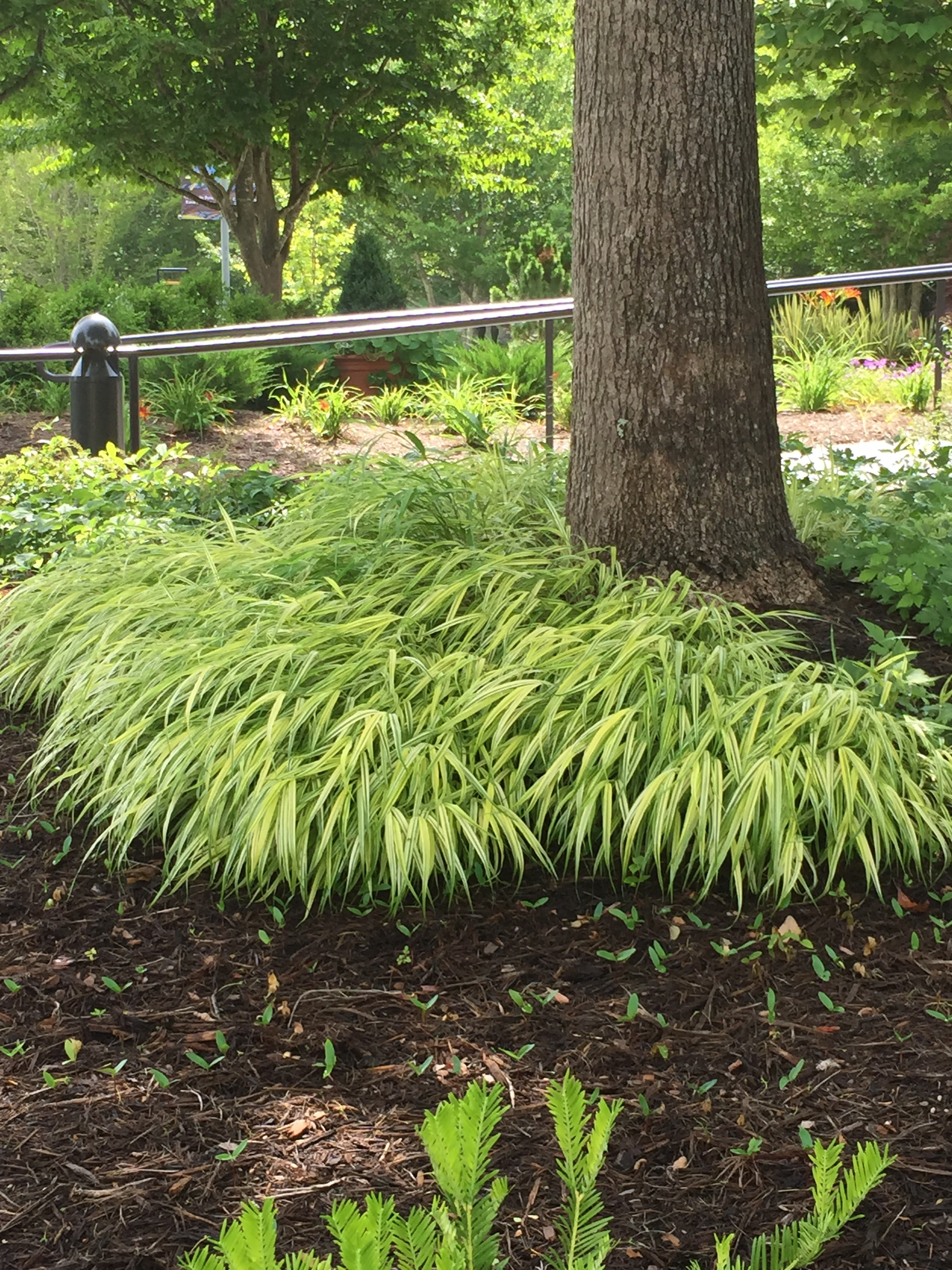 Japanese forest grass as a living mulch in shade.