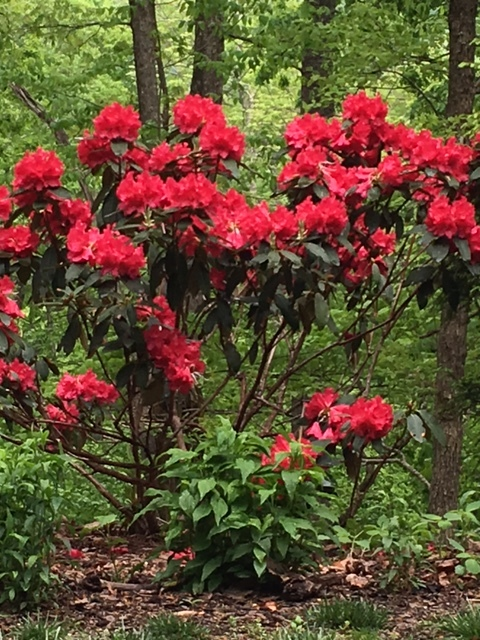 'Rabatz' rhododendron at its peak. Prune right after blooming.