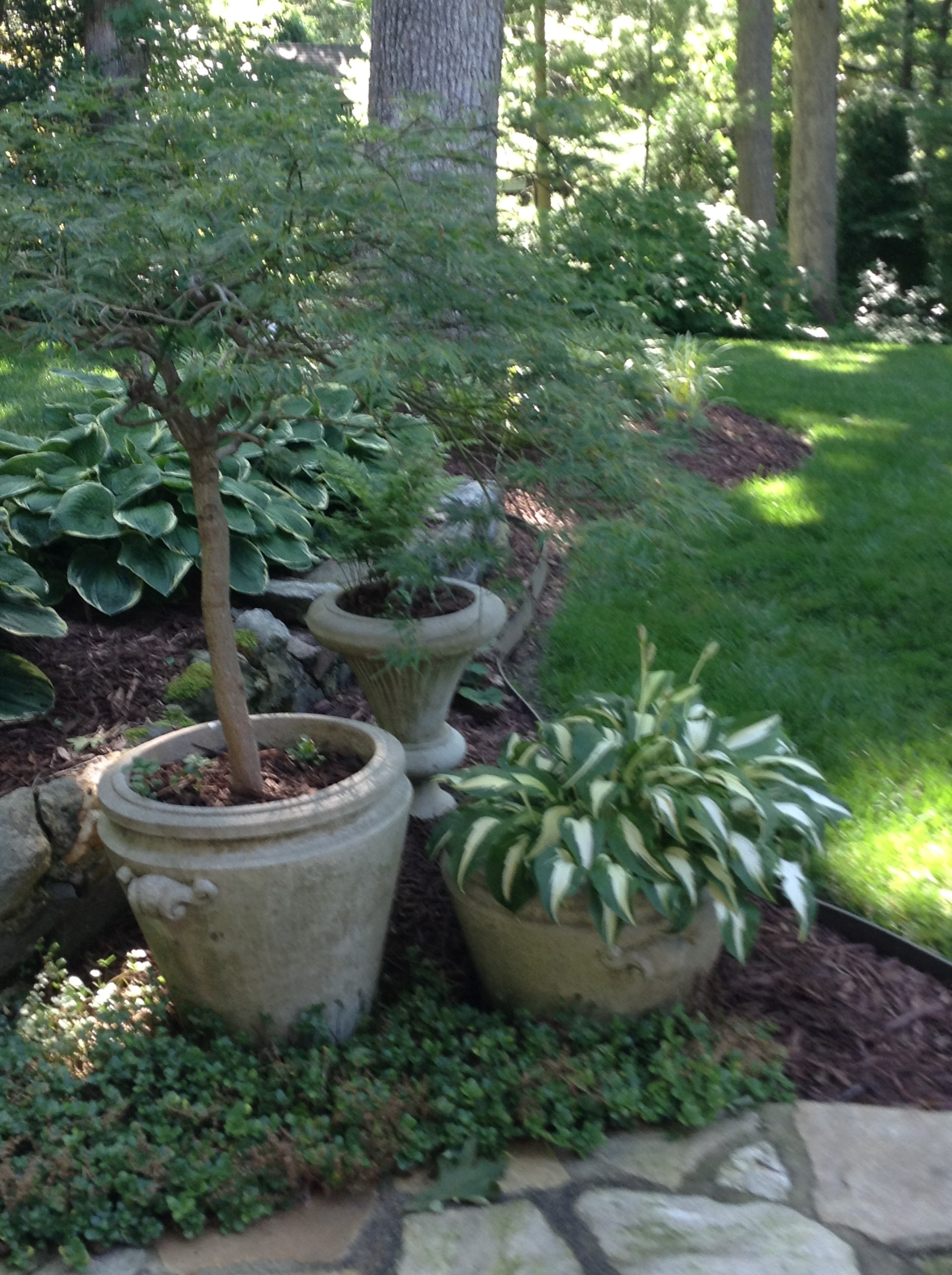 'Viridis' Japanese maple with ferns and hostas in containers. (Jan Cantrell garden, Biltmore Forest.)