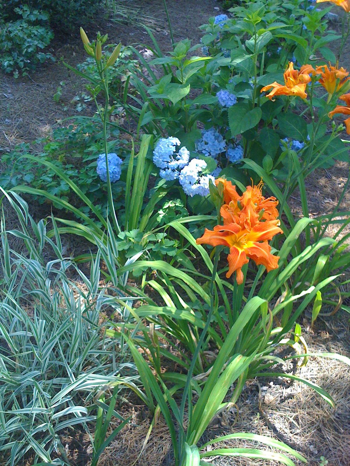 The orange daylily pops in front of the blue hydrangea (Endless Summer Hydrangea macrophylla). (Debbie Neese garden, Biltmore Lake.)