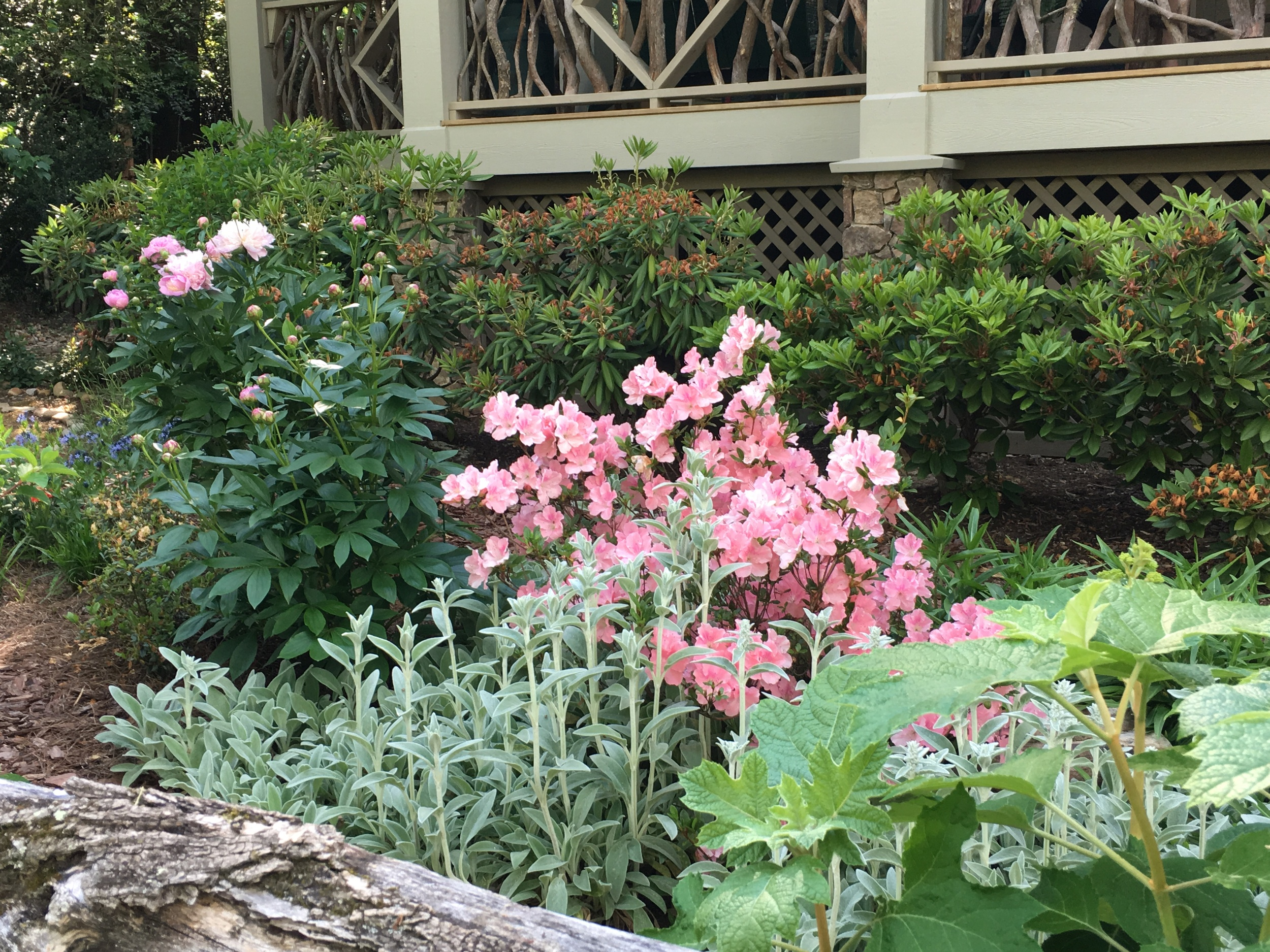 Some combinations are happy accidents,not intended by the gardener. This azalea combined with the pink peony and silver of the lamb's ear is perfect, and it was a happy accident.