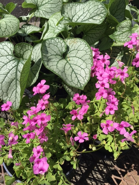 'Jack Frost' brunera with Oxalis 'Cottage Pink.'