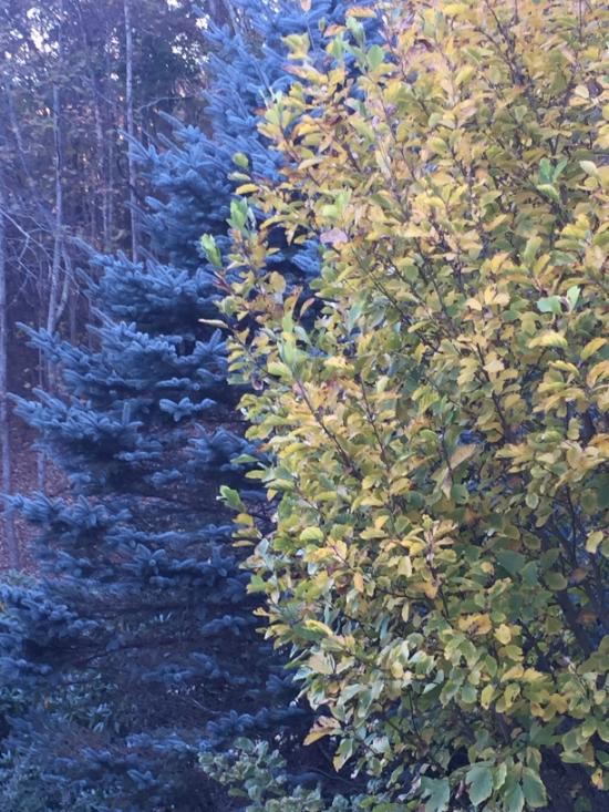 Blue Spruce with witch hazel tree in fall.