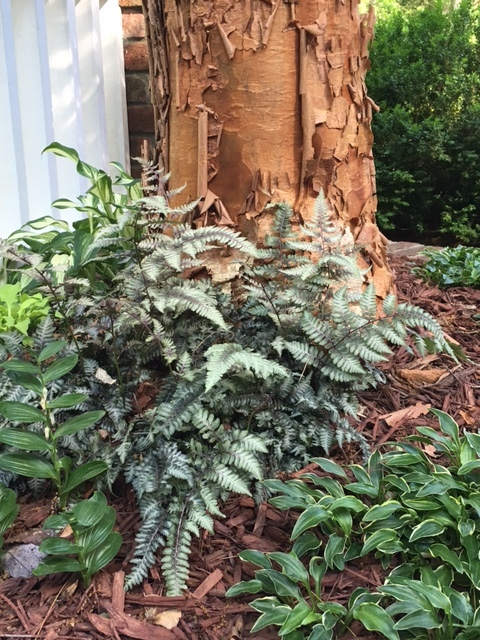 Japanese painted fern at the base of a paperbark maple. Exfoliating cinnamon bark combined with delicate pink-veined leaves is perfection. (Jan Cantrell Garden, Biltmore Forest.)