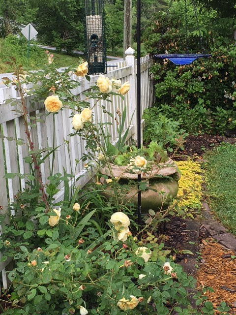 My lettuce urn placed near my new 'Teasing Georgia' David Austin rose, and under the bird feeder. FYI: under the bird feeder isn't the best spot. Birds can be messy.
