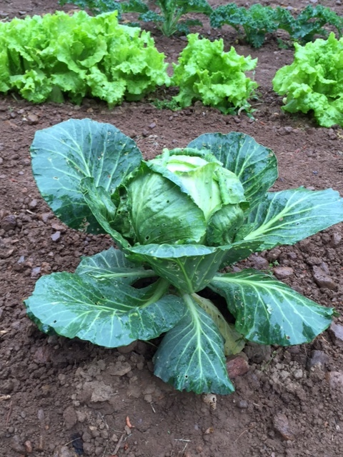 Letha started early crops and is rewarded now with cabbages, lettuces, mustard, and spinach.