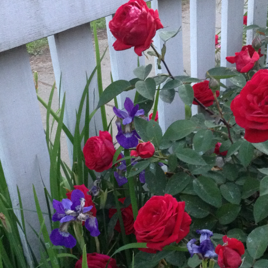 'Kashmir' rose with Siberian iris. It's time for both to be deadheaded for the season.