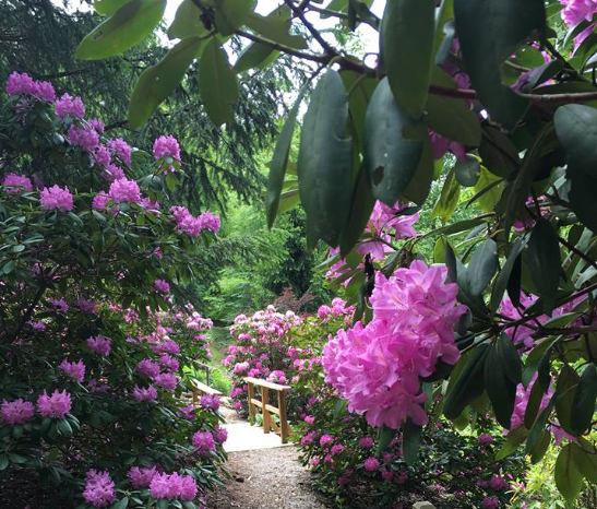 Rhododendrons lining a mountain path. Now is the time to deadhead them, but also the time to prune if necessary. Prune before July 4th, so you can enjoy your holiday and new buds can have time to set on new wood.