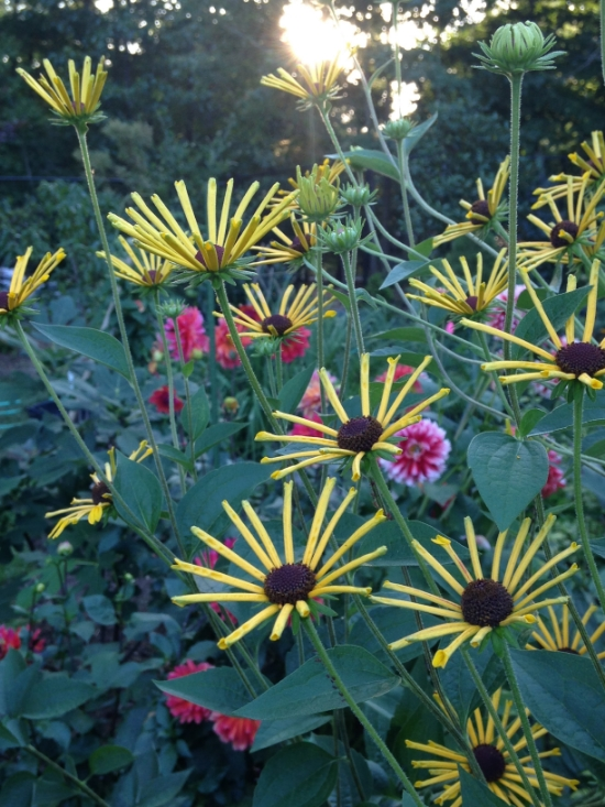 'Henry Eilers' rudbeckia, a fun cultivar of black eyed Susan that blooms mid-to-late summer.