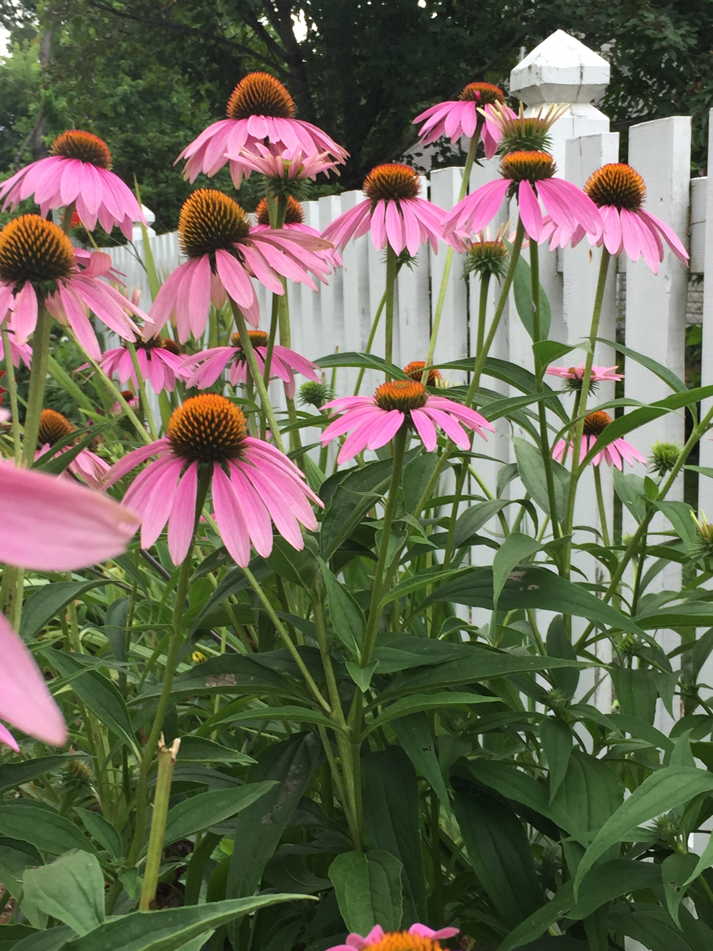 A garden favorite, Echincacea is a butterfly and bee magnet. Leave the seed heads for the birds during winter.