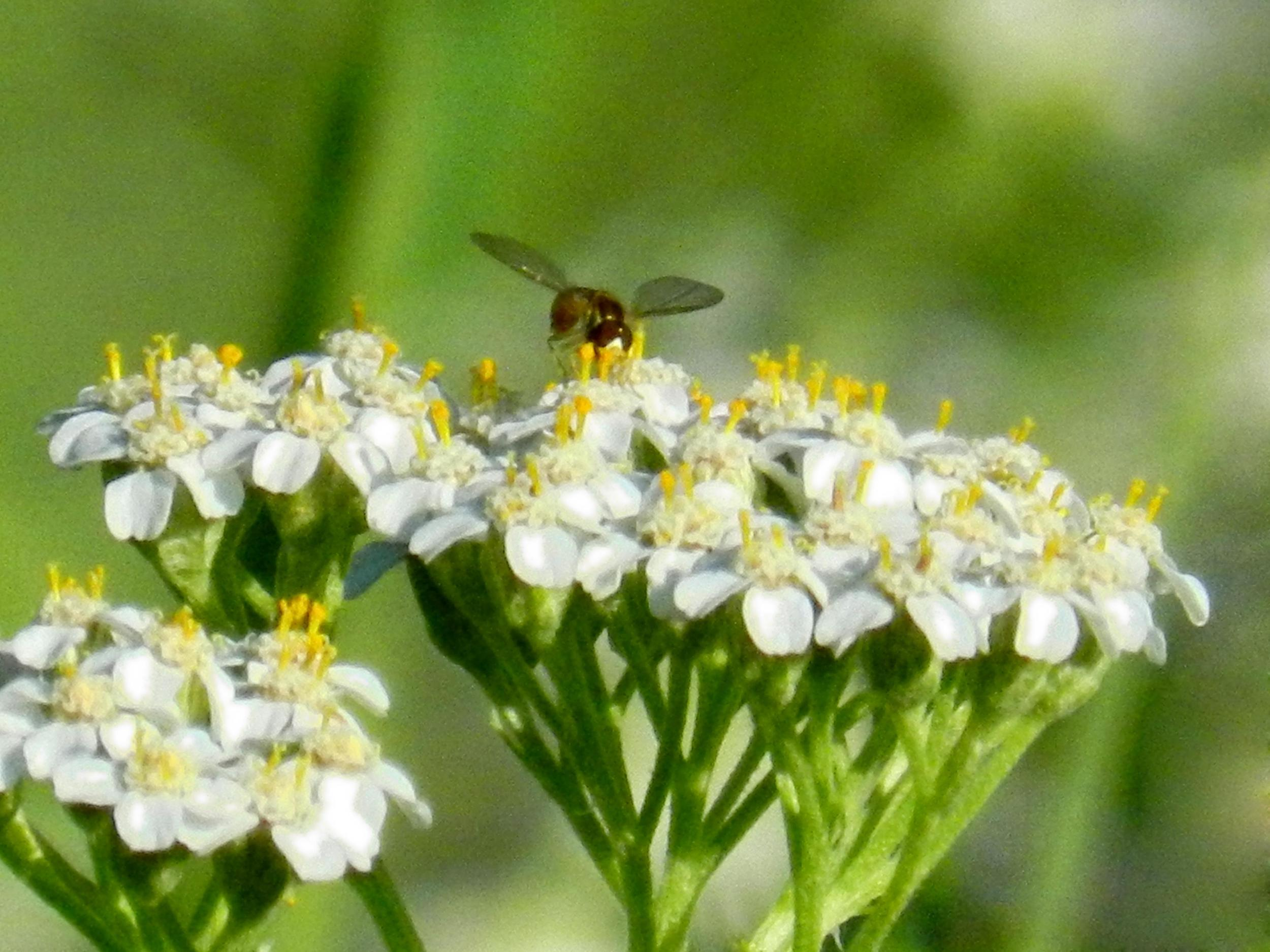 Yarrow is a great addition to the perennial garden and bees and butterflies love it.