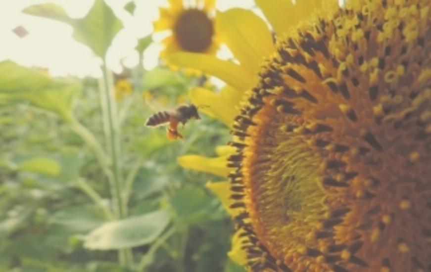 sunflower-983894_1280.jpg