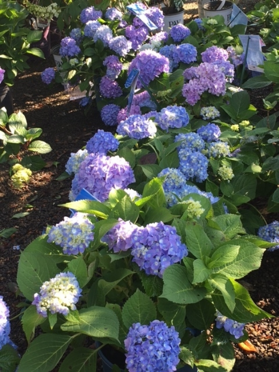 'Nikko Blue' Hydrangea macrophylla is a Southern classic. These bloom on old wood, so pruning right after blooming is best (or cut spent flowers in spring down to the first set of buds). In our WNC mountains, it can be damaged by spring frosts.