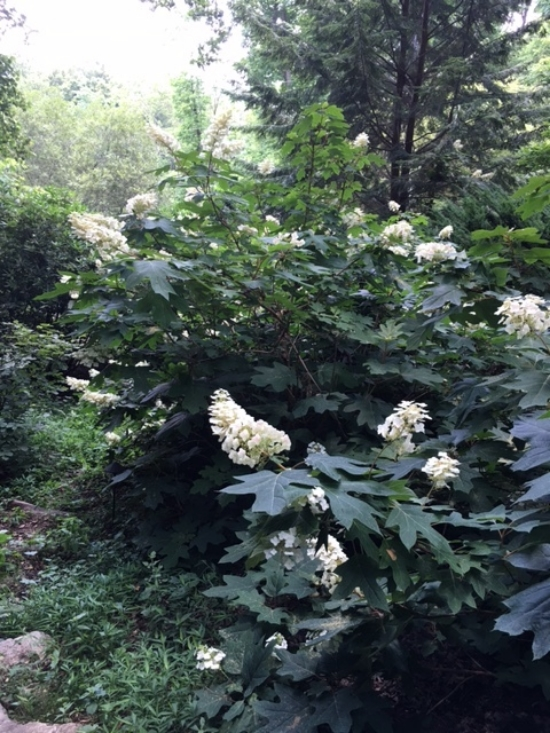 Great for a woodland garden, oakleaf hydrangeas bloom on old wood so don't get the pruners out in the fall or early spring. Prune after blooming.