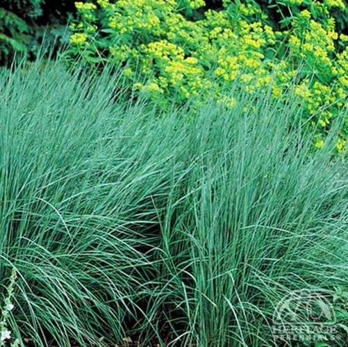 Schizachyrum scoparius 'The Blues'