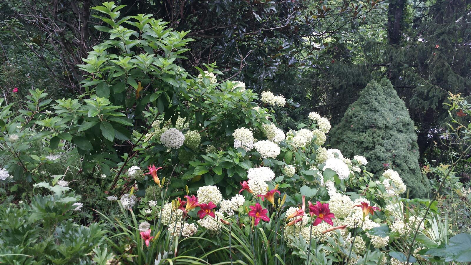 'Limelight' hydrangea with burgundy-red daylilies and Alberta spruce in the background create a perfect layered look in the garden without sacrificing flowers.