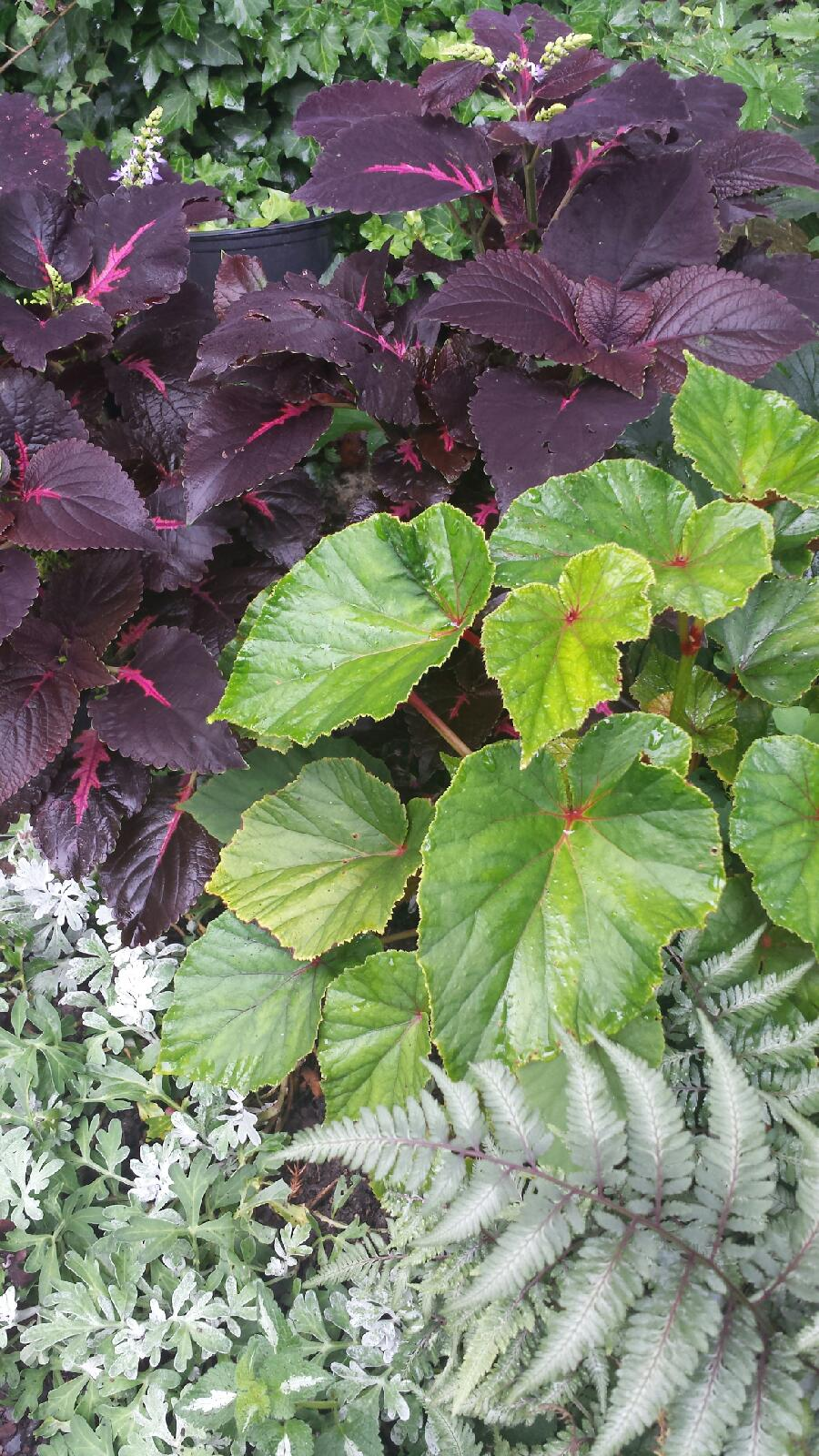 Perennial begonias, Japanese painted fern, and coleus make a beautiful shade foliage color combination, adding to the serenity of the garden.
