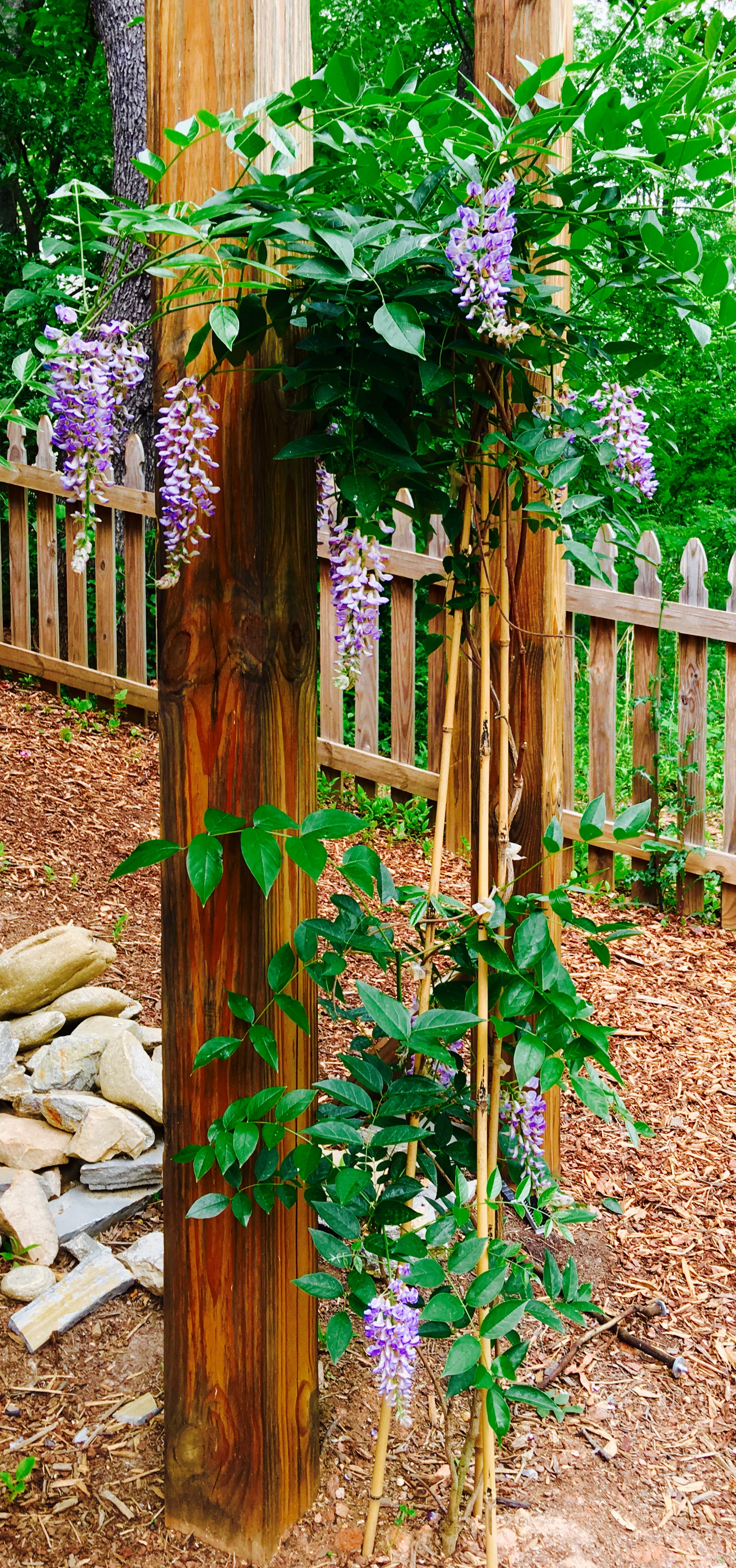 Wisteria. Some people shy away from wisteria, but Becky was not deterred.
