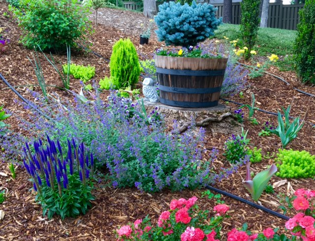 The dwarf blue globosa spruce helps anchor the perennial bed giving it height and color. The 'Walker's Low' catmint, 'Royal Candles' veronica and 'Angelina' sedum makes a beautiful display.