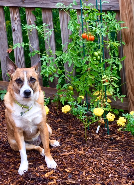 Frankie with the guilty look. She didn't bother eating the cherry tomatoes, but found the marigolds tasty, but she's forgiven for keeping the rabbits and deer at bay.