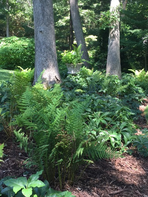 Hellebores, ferns, and a formal container are found in this bed in the shade garden, adding plant material instead of mulch. These plants can handle the dry shade.
