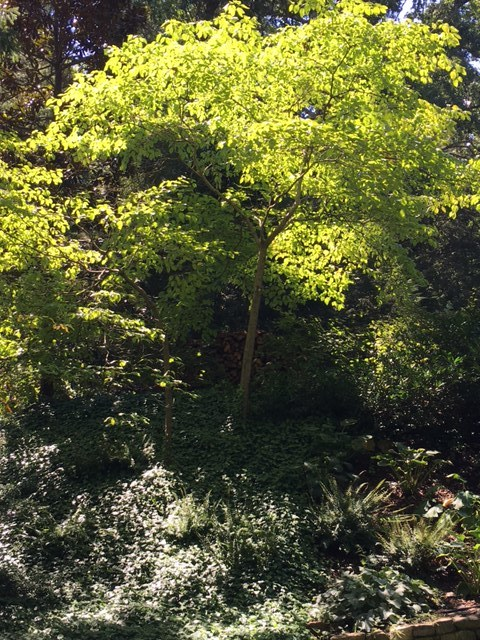 This dogwood tree catches the afternoon light perfectly as it shades the backyard perennial bed.