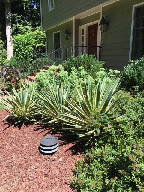 The front yard is the sunny spot in the garden. Here yucca paired with Sedum 'Autumn Joy' is a great contrast to the shade garden.