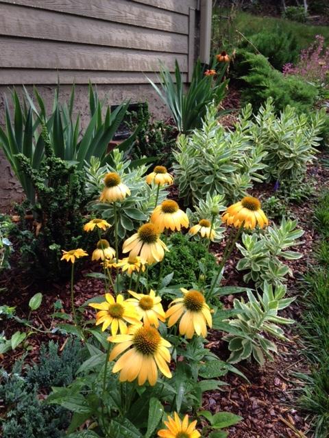 'Sundown' echinacea paired with a variegated tall sedum.