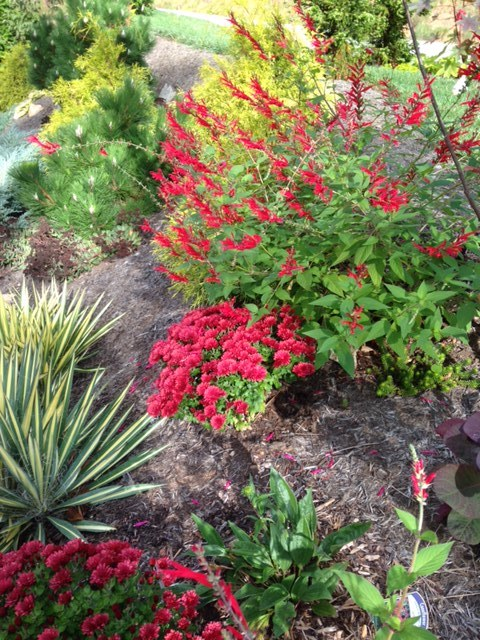 A view from above, pineapple sage, 'Red Penny' mum, and 'Bright Edge' Yucca.