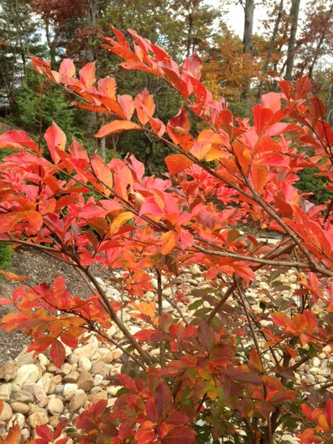 Crape Myrtle 'Nathcez' in fall.