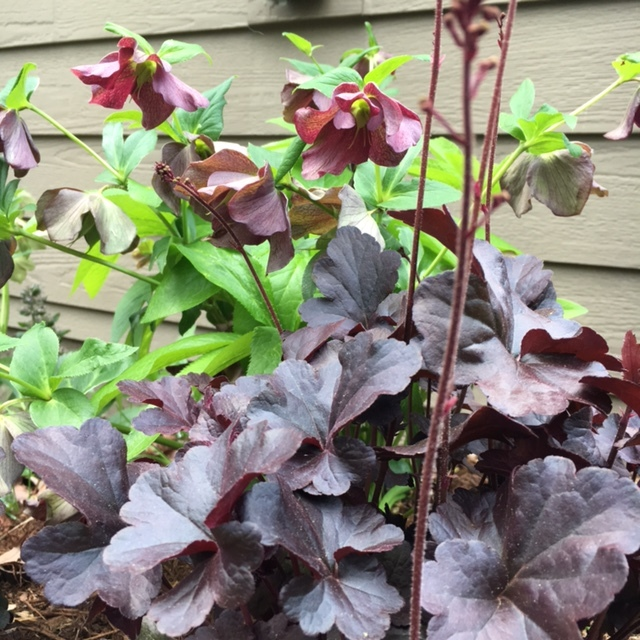 'Obsidian' heuchera combined with hellebore. The color of the bloom matches the color of the foliage.