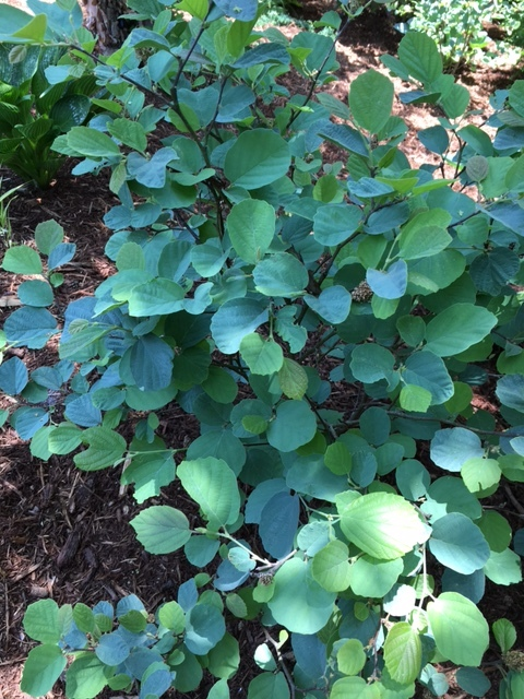 'Blue Shadow' Fothergilla, great spring blooms, beautiful fall color, and powder blue leaves throughout the season.