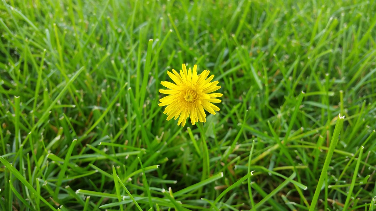"""Dandelions the """"bane"""" of all good, weed-free lawns."""