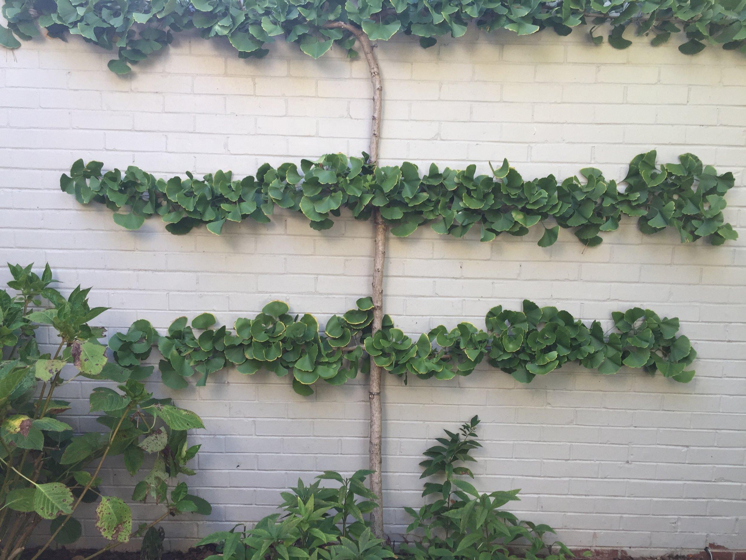 Espalier ginkgo. Same garden as knot garden.