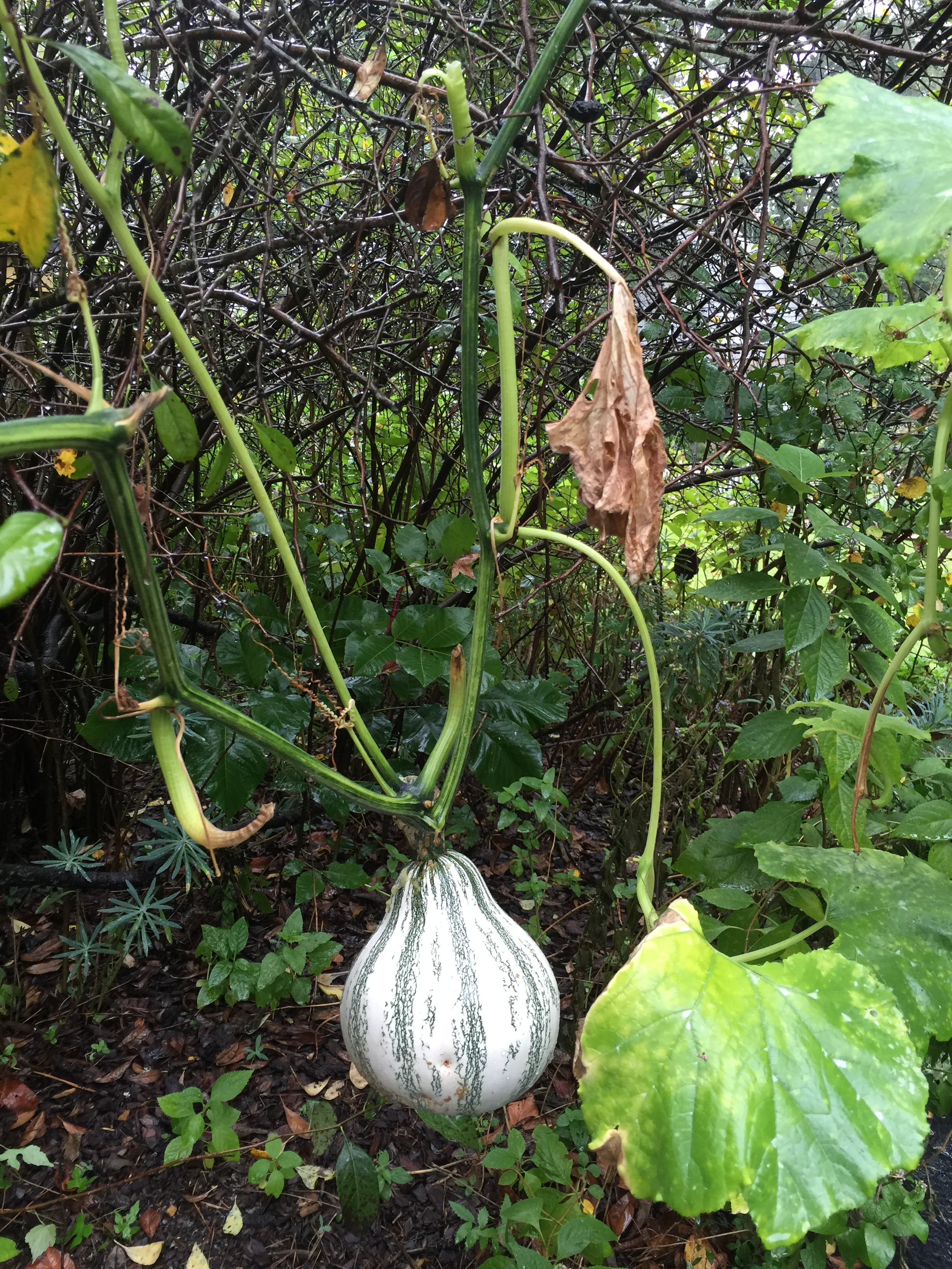 Gourds!! Growing along pathways required ducking, but who cared?