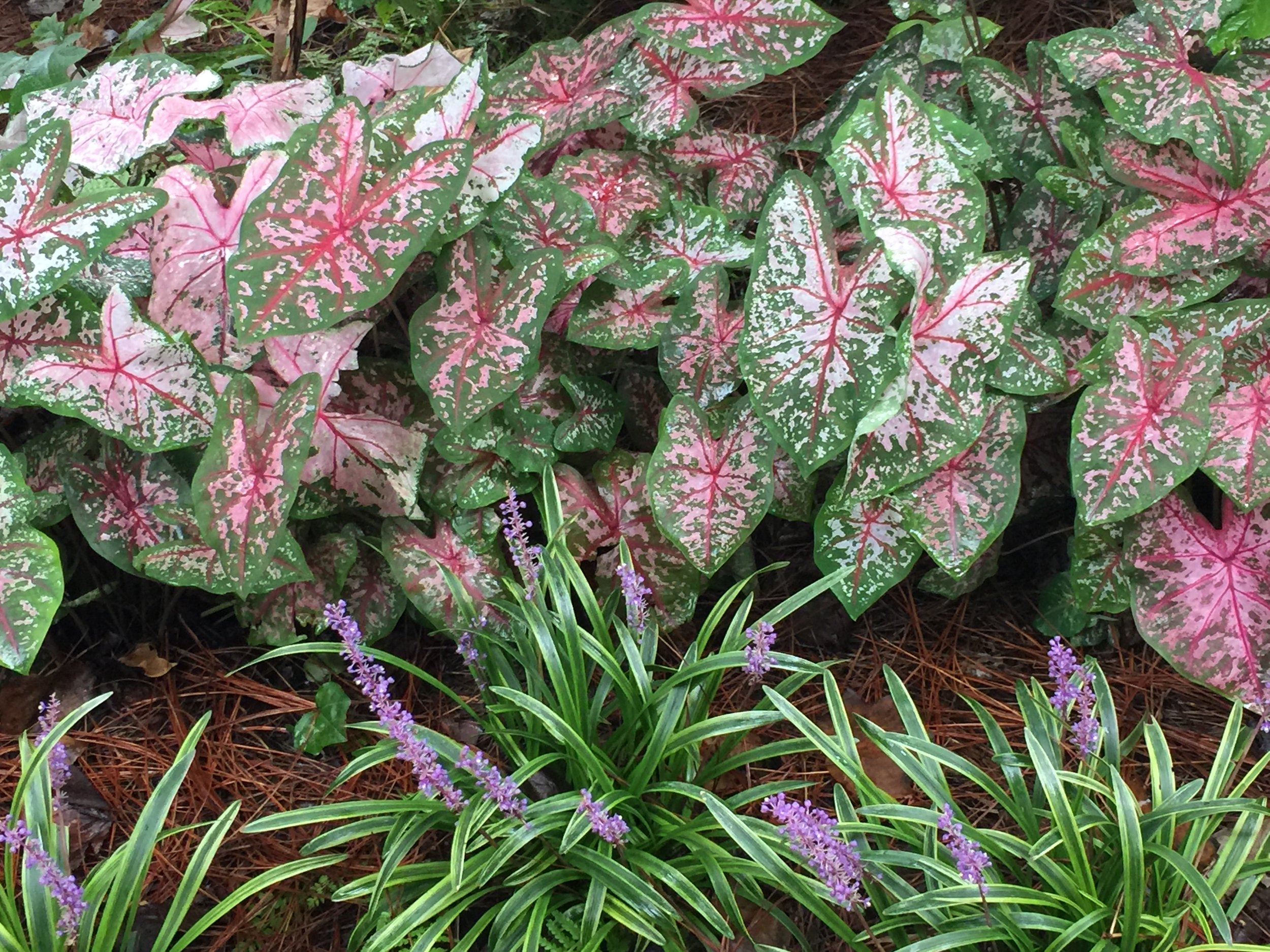 I'm in love with the variegated lirope this year. So I took a billion pictures of it.