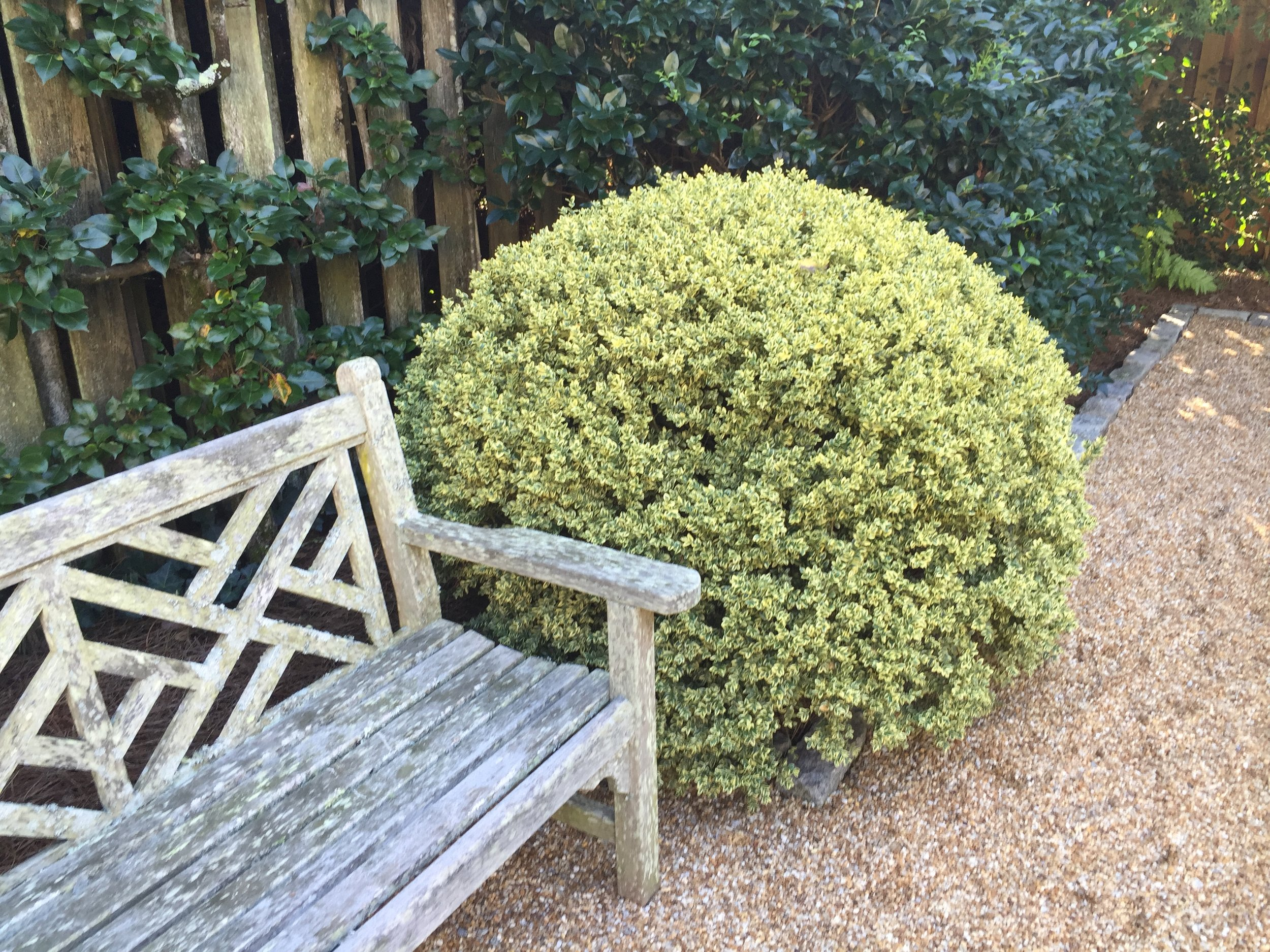 A perfectly placed and perfectly pruned boxwood.