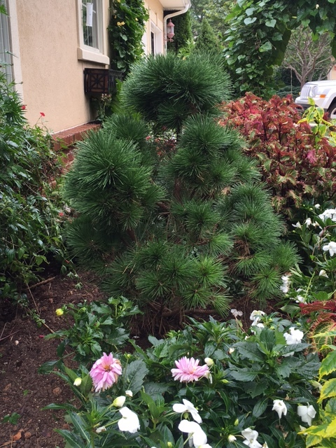Pinus thunbergii 'Thunderhead, great for focal point, rock gardens, Asian gardens, or any garden. 10' x 15' ultimately.