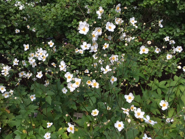 Japanese anemone are a fall favorite with their tall stems and waving blooms.