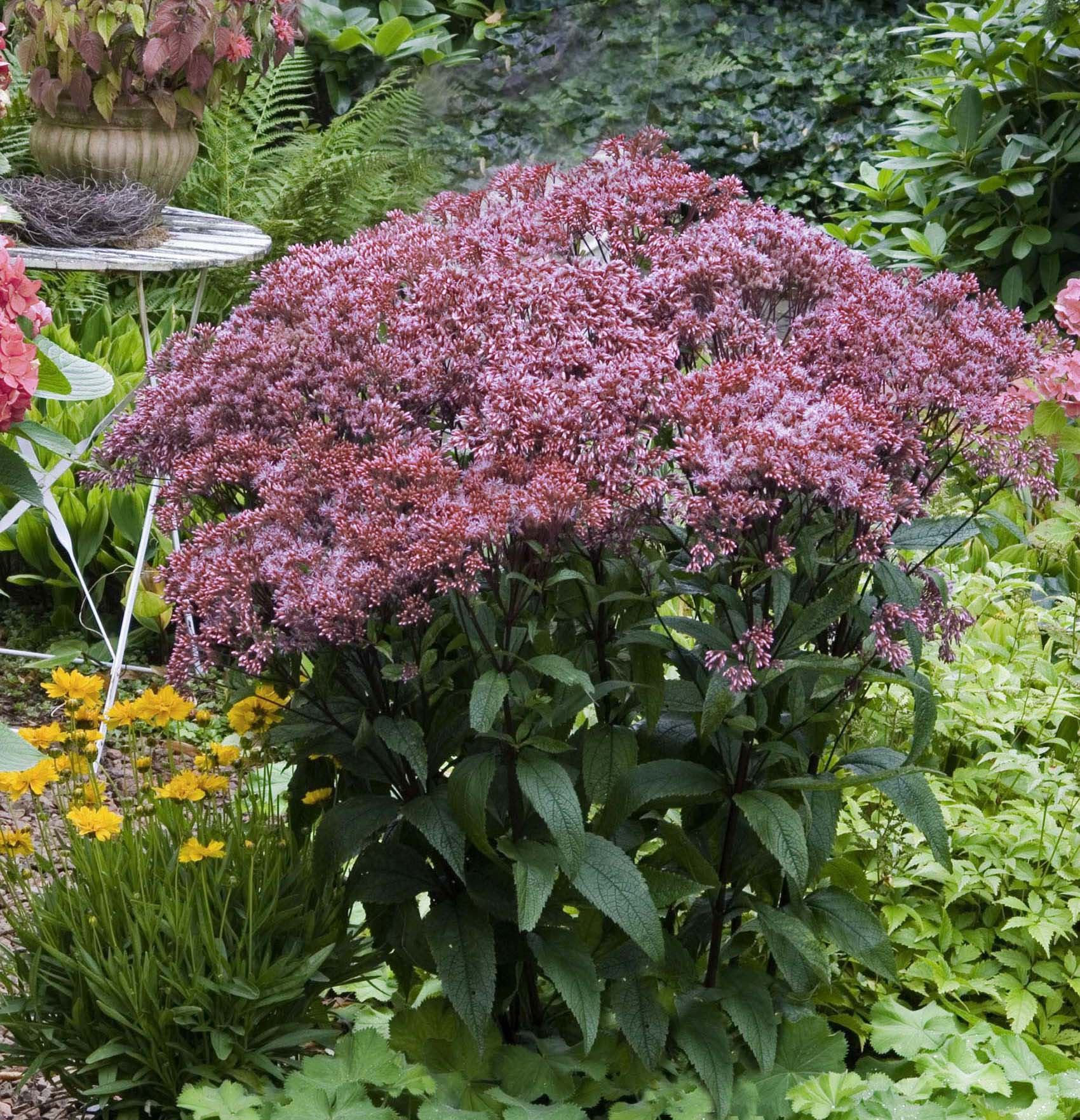 "Joe Pye Weed is making a play for fall favorite. It doesn't have to be 6' tall and floppinng in the garden. This one is 'Baby Joe' that stays 36"" tall and more compact."
