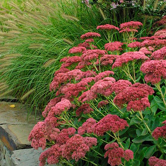 Autumn Joy sedum has long been a favorite (of bees too!). Leave flower heads for winter interest, and the birds who love them.