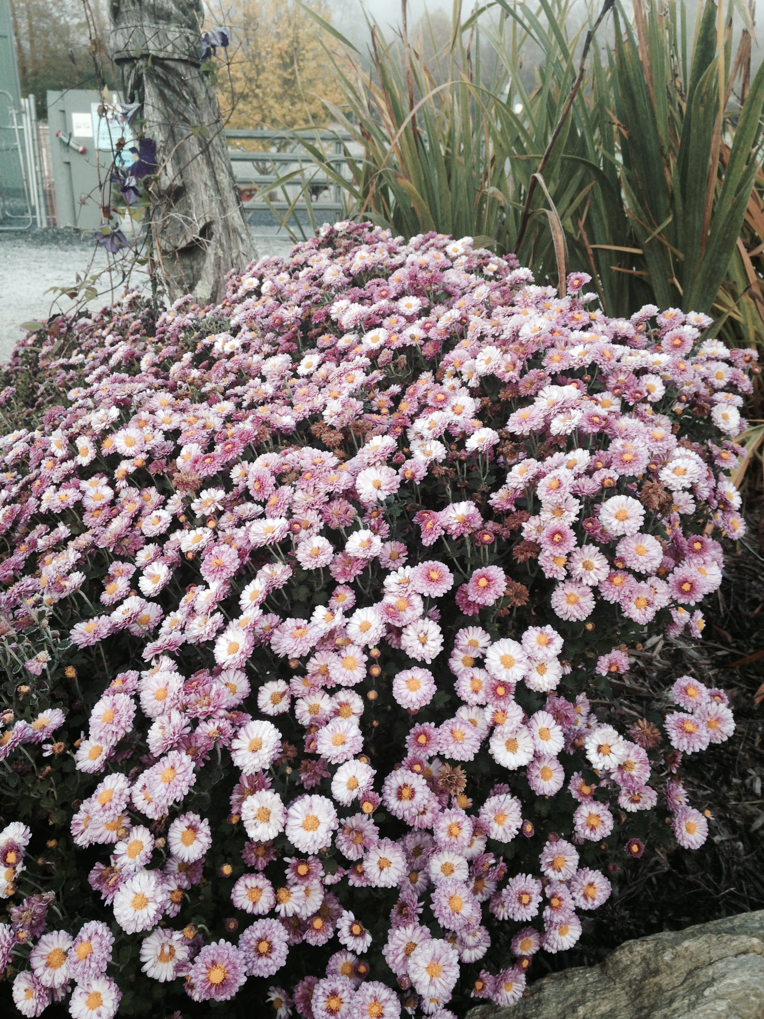 Seasonal mums (the ones that don't overwinter) are fun, but the hardy mums are great too.