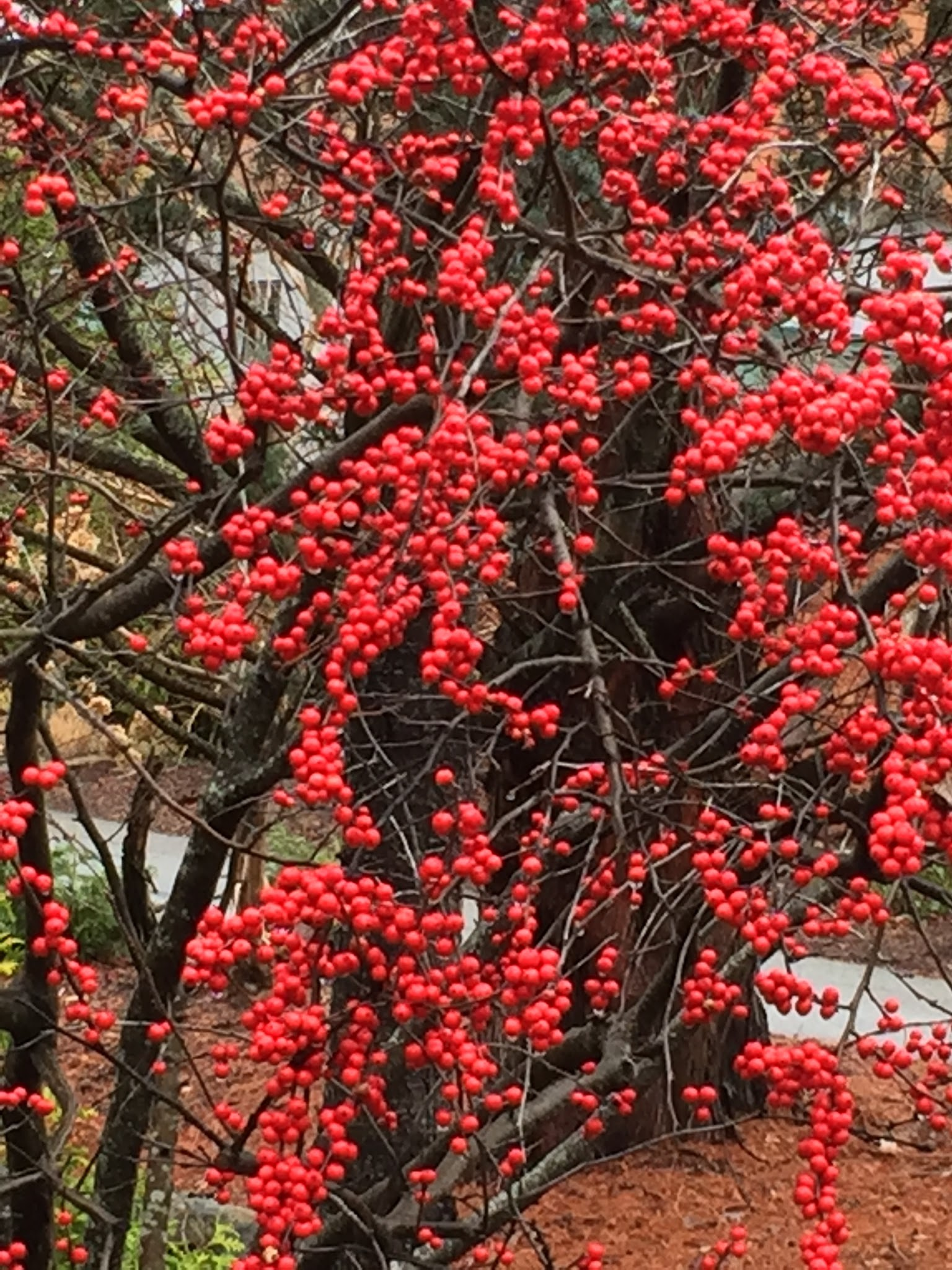 These winterberries are very showy in fall. This shrub gets 8' x 5'. Smaller varieties are available.