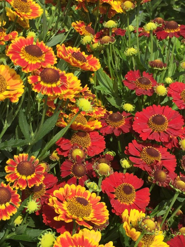 Helenium or sneezeweed is unstoppable. It starts blooming in July and doesn't stop until a hard frost.