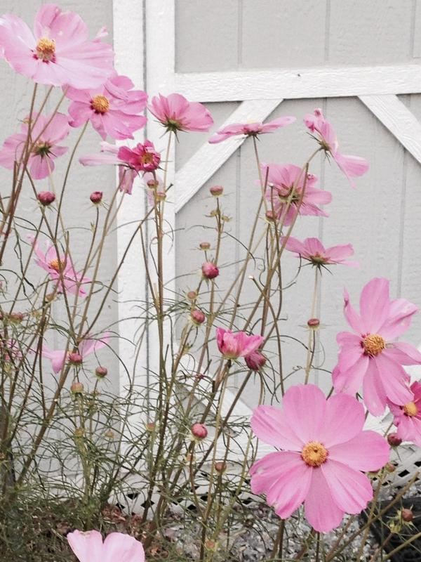 Annuals continue to give us a lot of bang for our buck. Cosmos goes straight until frost.