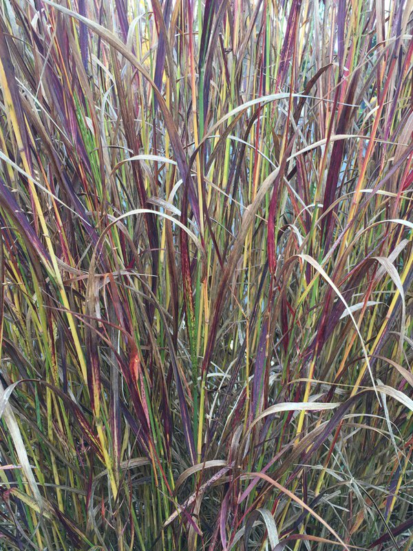 The colors of the grass blades on 'Shenadoah' panicum are so stunning it adds to any fall border.